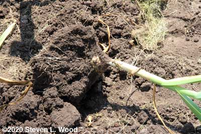 Huge clump of soil with rootball