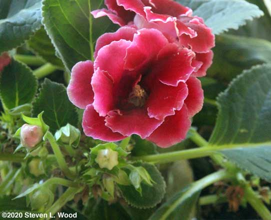 Red gloxinia bloom