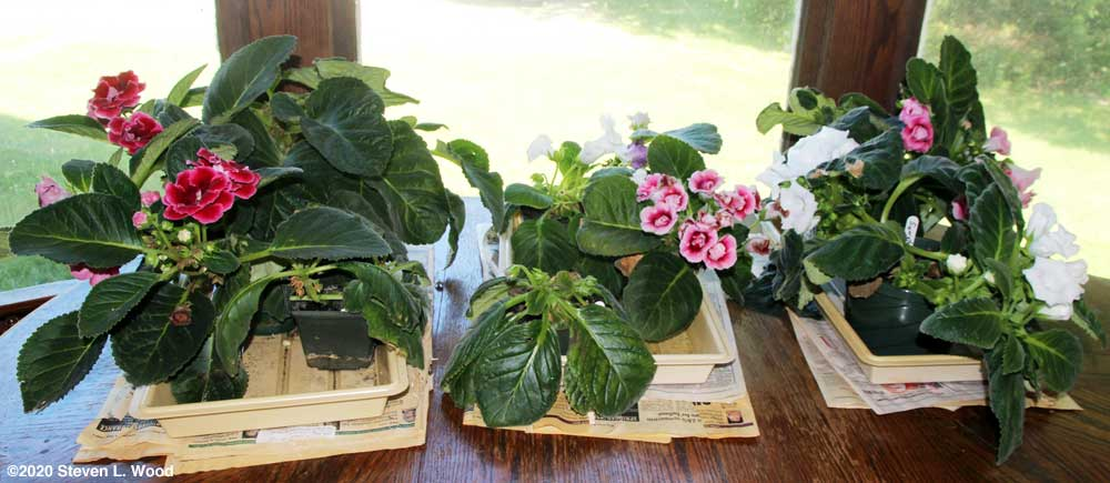 Gloxinias in bloom on our dining room table