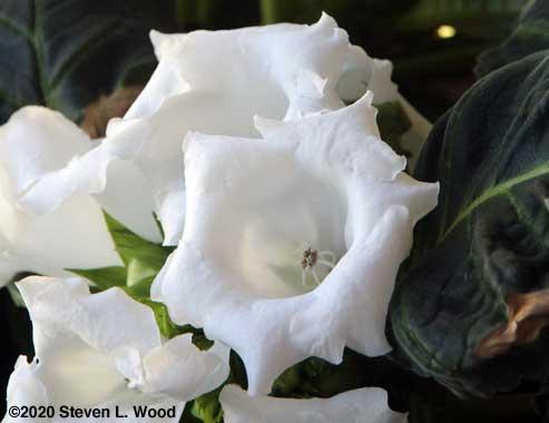 White gloxinia
