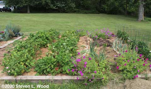 Green beans and onions still in main raised bed