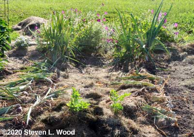 Celery and onion plants