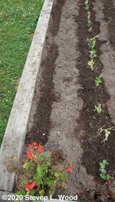 Kale and pea bed