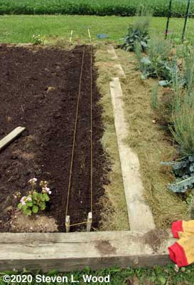 Carrot rows strung and shallow furrows made