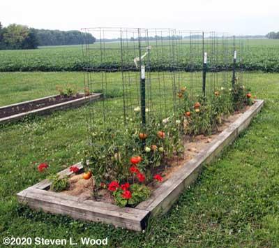 Earlirouge tomato row