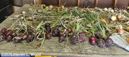 Left side of drying/curing table full of onions