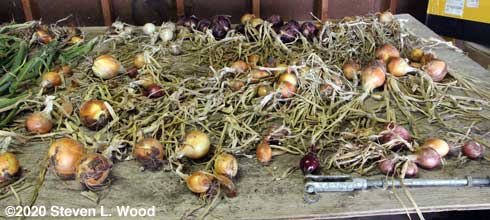 Right side of drying/curing table with onions