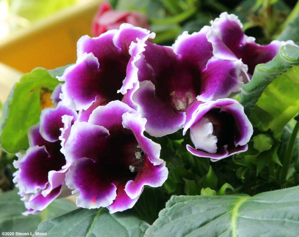 Purple and white gloxinia blooms