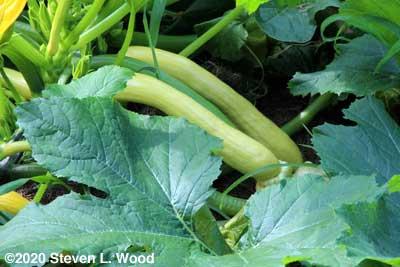Slick Pik yellow squash on the plant