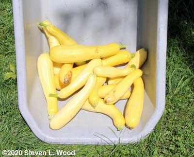 Slick Pik yellow squash