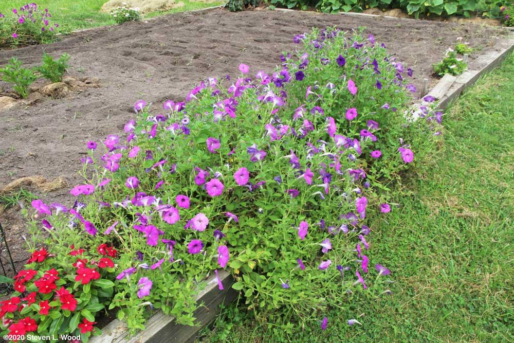 Perseverance petunias