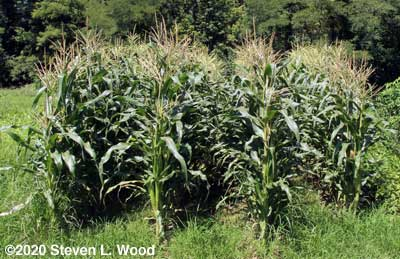 Sweet corn patch - August 15, 2020