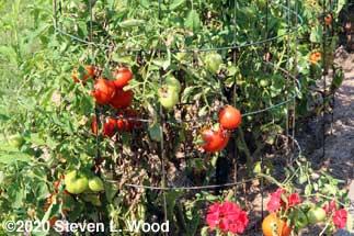 Earlirouge tomato plants finally producing good fruit