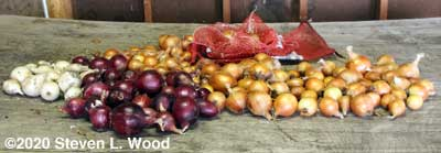 Onions with tops trimmed off