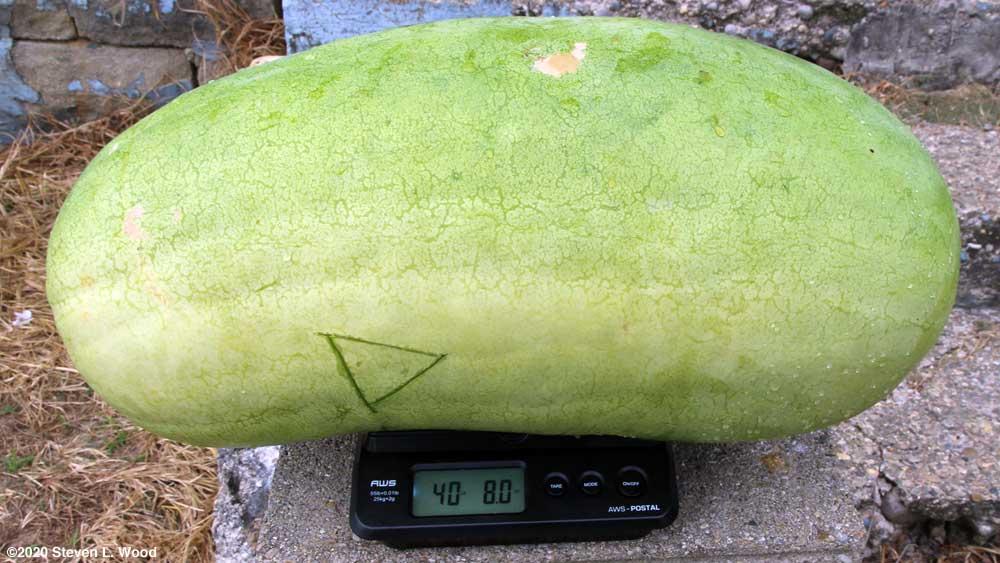 Forty pound Ali Baba melon