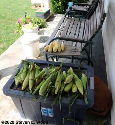 Shucking and silking corn on the back porch