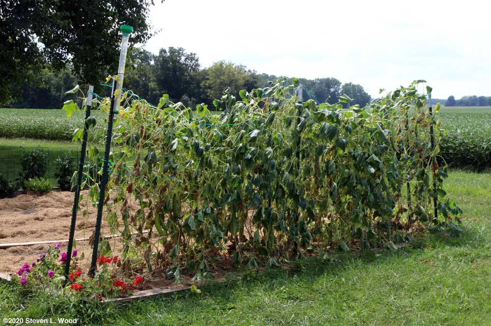 Wilted Japanese Long Pickling cucumber vines
