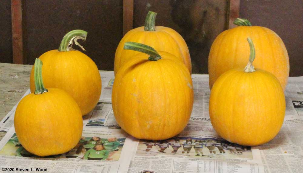 Small, early ripening pumpkins