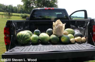 More melons for the food bank