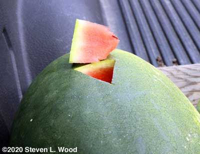 Watermelon plugged to assess ripeness