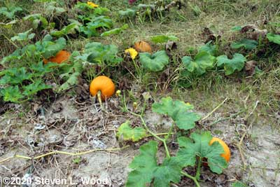 Small pumpkins on the vine