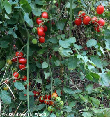 Honey Bunch grape tomato plant