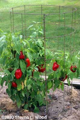 Another loaded Earliest Red Sweet pepper plant