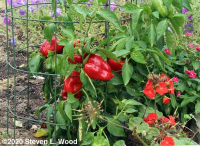Loaded red pepper plant