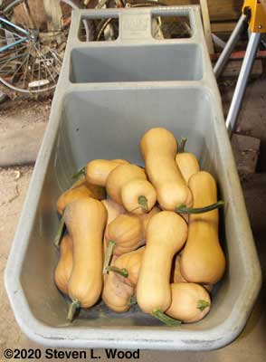 Cart of butternut squash