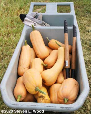 Butternut squash in garden cart