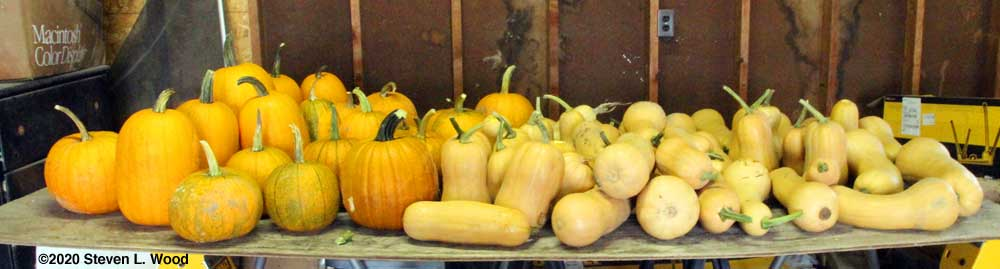 Pumpkins and butternut squash on curing table