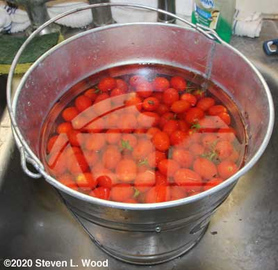Grape tomatoes getting rinsed
