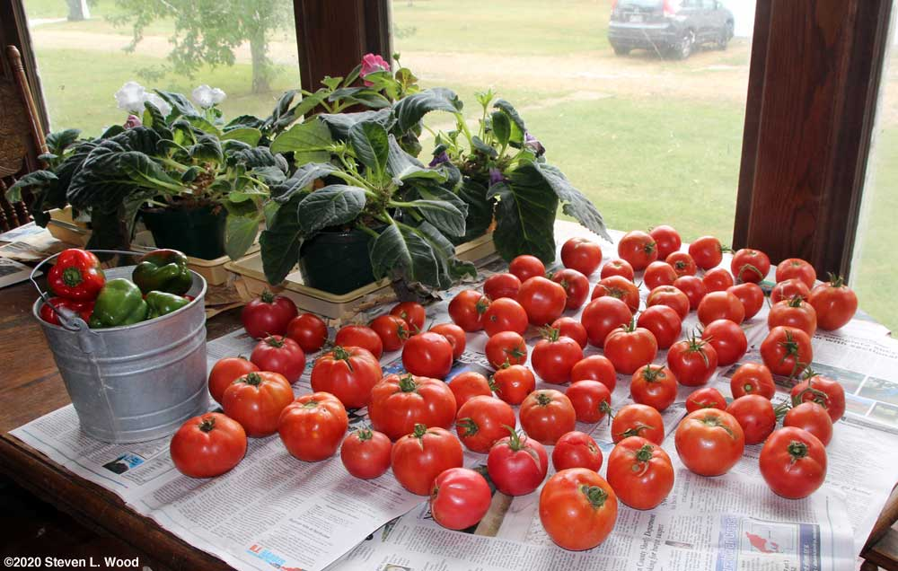 Tomatoes ripening on dining room table