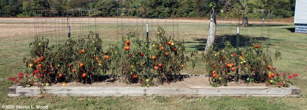 Dead Earlirouge tomato plants