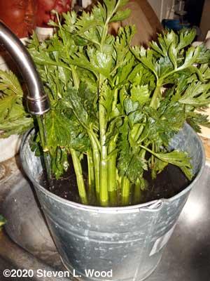 Celery soaking