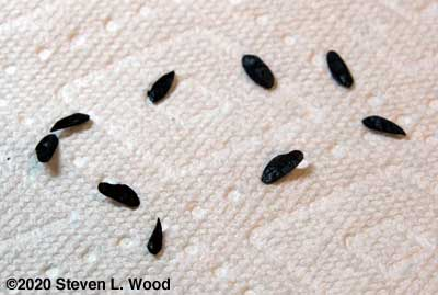 Hosta seeds