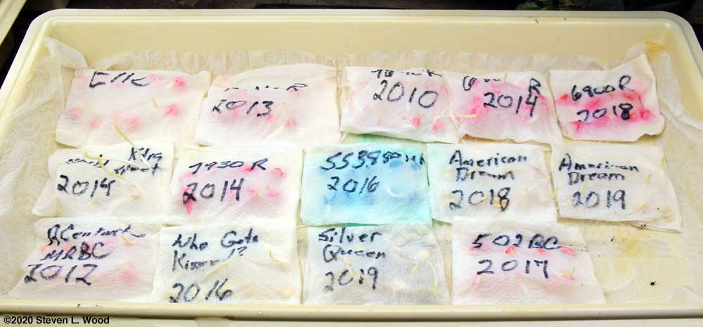 Sweet corn seed germination test