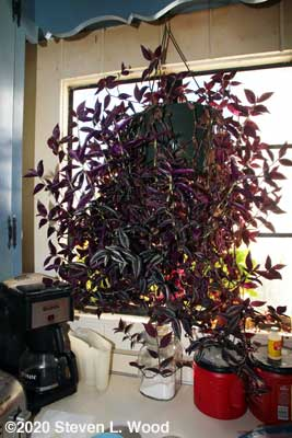 Our kitchen Wandering Jew plant