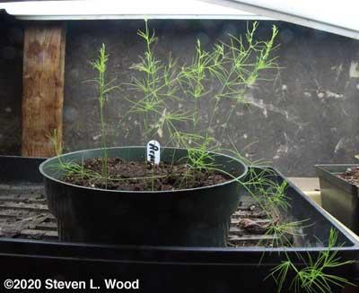 Asparagus transplants under plant lights