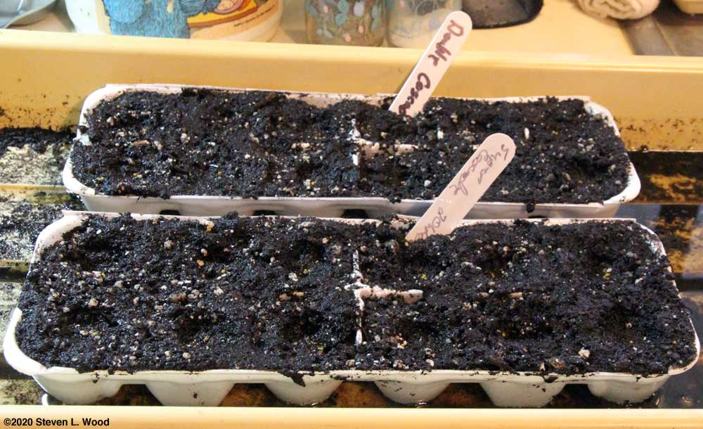 Egg cartons seeded to petunias