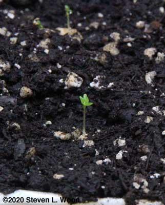A just germinated petunia
