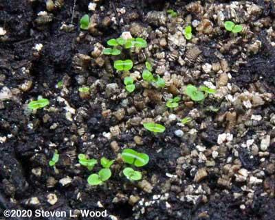 Closeup of just emerged gloxinia plants