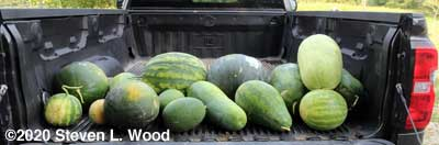 Melons for the food bank