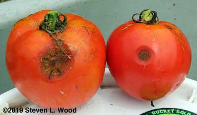 Anthracnose on tomatoes