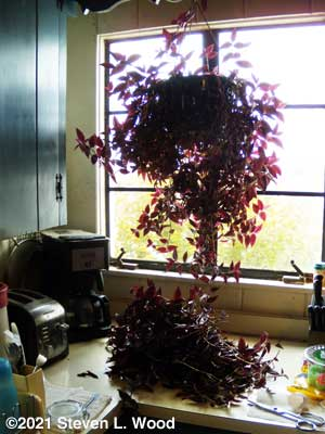 Wandering Jew plant being trimmed