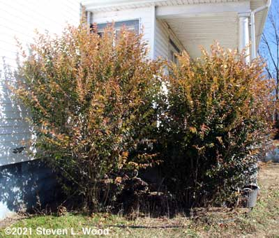 Untrimmed laurel bushes