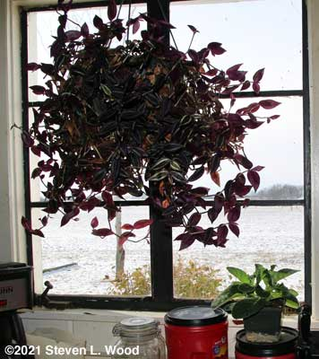 Gloxinia movers to kitchen window
