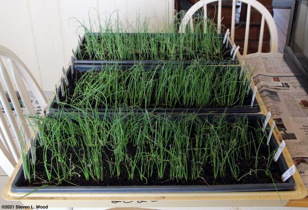 Three trays of onions before trimming
