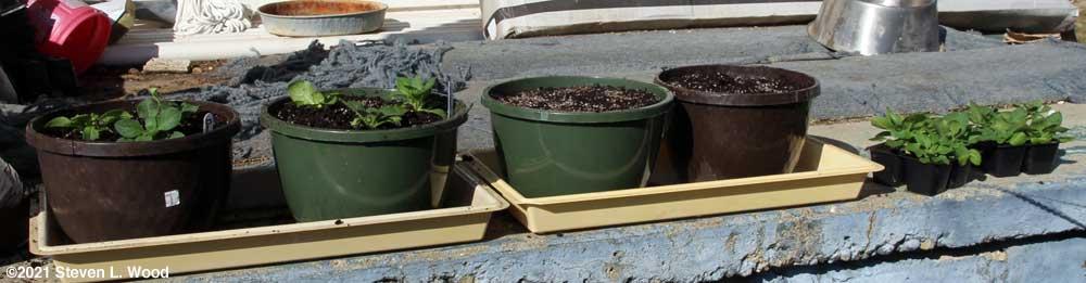 Transplanting petunias into hanging basket pots