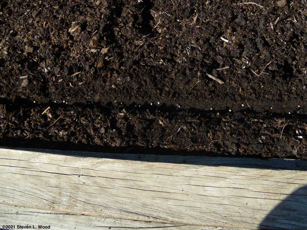 Spinach seed in furrow